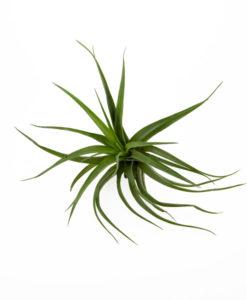 Tillandsia's ( luchtplantjes )