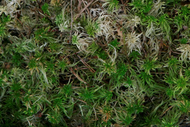 Spaghnum mos