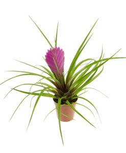 (Mini) Bromelia's, Vriesea's, etc.